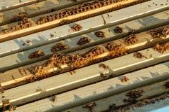 Ram av en bikupa Funktionsdugliga bin på honungskakor som fylls med honung royaltyfri foto