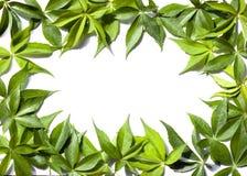 Ram av gröna leaves Fotografering för Bildbyråer