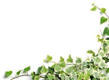 Ram av murgrönan Royaltyfri Foto