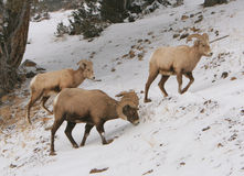 Ram bachelors. Rocky Mountain Bighorn rams in Wyoming Stock Photos