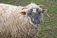 A ram Royalty Free Stock Photography