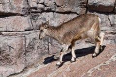 A ram Bharal da montanha vai nas rochas, um animal selvagem hoofed poderoso na perspectiva do terreno rochoso imagem de stock