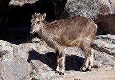 A ram Bharal da montanha vai nas rochas, um animal selvagem hoofed poderoso na perspectiva do terreno rochoso foto de stock royalty free