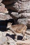 A ram Bharal da montanha vai nas rochas, um animal selvagem hoofed poderoso na perspectiva do terreno rochoso fotografia de stock royalty free