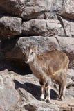 A ram Bharal da montanha vai nas rochas, um animal selvagem hoofed poderoso na perspectiva do terreno rochoso imagens de stock royalty free