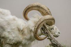 Ram bianca Fotografia Stock Libera da Diritti