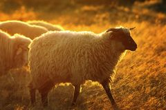 Ram bianca alla luce arancio dell'alba Fotografia Stock Libera da Diritti