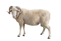 Ram bianca isolata immagine stock