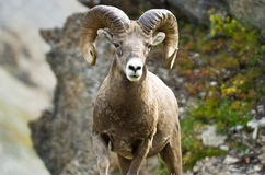 Ram big horn sheep Stock Images