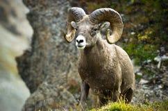 Ram big horn sheep stock photo