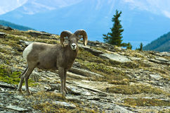 Ram big horn sheep Royalty Free Stock Image