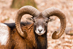 Ram with big horns in the forest Royalty Free Stock Photography