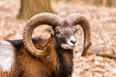Ram with big horns in the forest Stock Photo