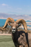 Портрет Ram Bighorn пустыни Стоковые Изображения