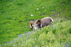Ram bighorn sheep. Bighorn sheep ram at Mount Timpanogos, Utah, USA Royalty Free Stock Photo