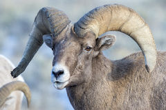 Ram bighorn sheep portrait with large curled horns and little sn Royalty Free Stock Image