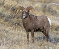 Ram bighorn sheep portrait with large curled horns and little sn Stock Photo