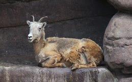 Ram Bighorn Sheep Stock Image