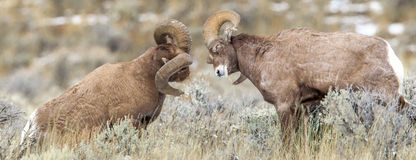 Ram Bighorn Sheep. Two Large Rocky Mountain Bighorn Sheep Rams About To Butt Heads In Battle For Dominance Stock Photos