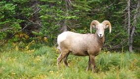 Ram Bighorn Sheep Wild Animal masculino saudável Montana Wildlife vídeos de arquivo