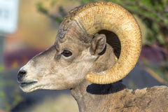 Ram, Bighorn, Young Stock Photography