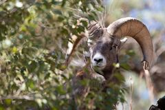Ram bonito do Big Horn fotografia de stock