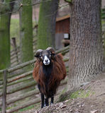 Ram. Brown ram outdoor (sheep, agriculture Stock Photo