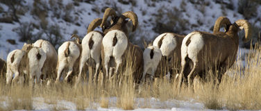 Ram butts. A group of big horn rams on the north fork of the Shoshone river on the way to Yellowstone national park, in the fall during rut royalty free stock images