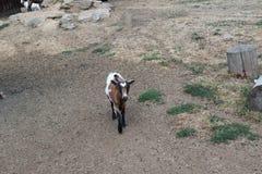 RAM-chèvre image libre de droits