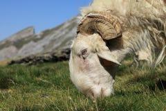 Ram che pasce Fotografia Stock Libera da Diritti
