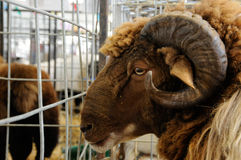Ram closeup. Ram clouseup in the animal exhibit hall at the Western Idaho State Fair Stock Images