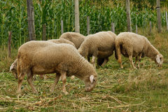 Ram con gli sheeps fotografia stock
