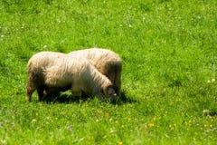 Ram con i corni che mangiano erba immagine stock libera da diritti
