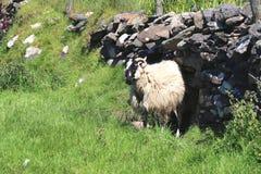 Ram con los cuernos contra una pared de piedra, Irlanda Foto de archivo libre de regalías