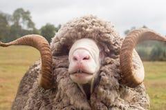 Ram cornuta riccia (ovis aries) Fotografie Stock Libere da Diritti
