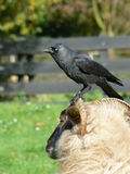Ram with crow Royalty Free Stock Photos