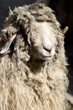 Ram with curly hair Royalty Free Stock Images