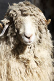 Ram with curly hair. In a deer park stock photos