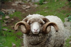 Ram with curly horns - close-up on face. Large Ram with long curly horns staring straight you Royalty Free Stock Photography