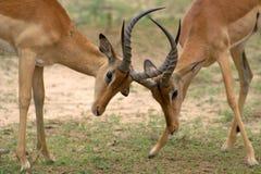 RAM d'impala (melampus d'Aepyceros) Photo libre de droits