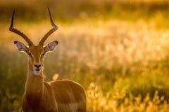RAM d'impala se tenant le premier rôle à l'appareil-photo images stock