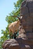 Ram da montanha Imagem de Stock