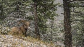 Ram da montanha Fotografia de Stock Royalty Free