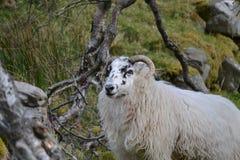 Ram dans la gorge photos libres de droits