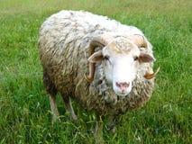RAM, das auf dem grünen Gras steht Lizenzfreies Stockbild