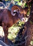 RAM de Bighorn Imagen de archivo libre de regalías