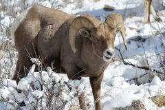 Ram de Bighorn dans la neige - le Colorado Rocky Mountain Bighorn Sheep Photos libres de droits