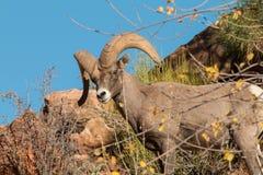 Ram de Bighorn de désert sur Hillside Photographie stock