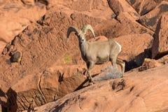 Ram de Bighorn de désert sur l'alerte Photographie stock