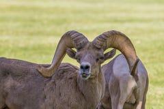 Ram de Bighorn de désert dans l'ornière Image stock